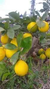レモン れもん 三栄商会 ブログ